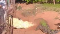 Cannibal Croc -- Bites Foot Off Other Croc in Feeding Frenzy