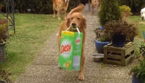 Adorable Golden Retriever Excited To Fetch The Family Groceries