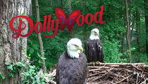 Tennessee Wildfire -- Massive Bald Eagle Evacuation Underway at Dollywood